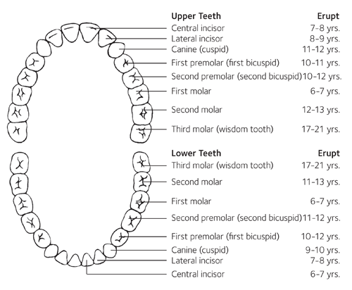 upper and lower teeth