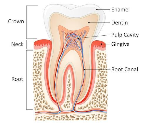 Structure of human tooth diagram